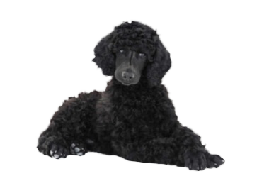 black poodle laying down